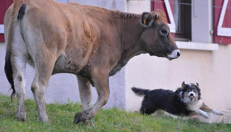 Aubrac et Border Collie